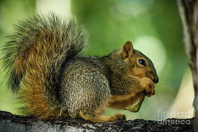 Fox Squirrel Photograph - Lunch by Robert Bales