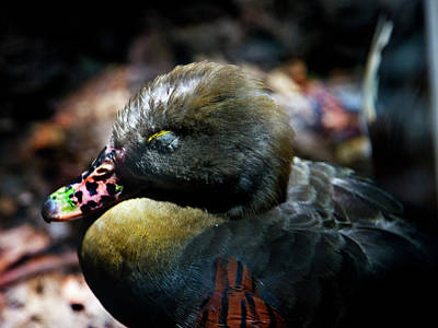 Photograph - Lunchtime Duck Nap by Miroslava Jurcik
