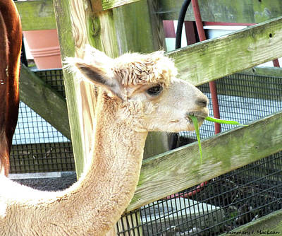 Photograph - Lunchtime For Alpaca by Kimmary I MacLean