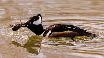 Photograph - Lunchtime For The Hooded Merganser by Randy Scherkenbach