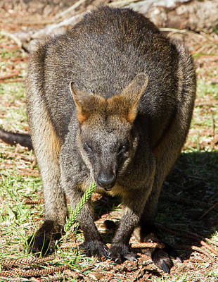 Photograph - Lunchtime Says Swamp Wallaby by Miroslava Jurcik