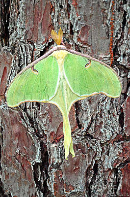 Photograph - Luner Moth by Debbie Portwood