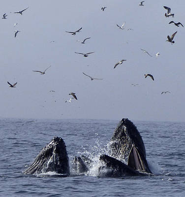 Photograph - Lunge Feeding Humpback Whales by Amelia Racca
