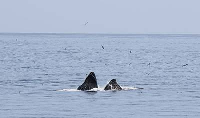 Photograph - Lunge Feeding Humpback Whales  by Christy Pooschke