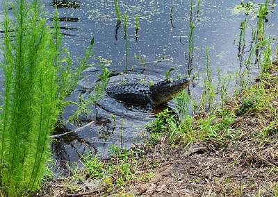Photograph - Lunging Bull Gator by Warren Thompson