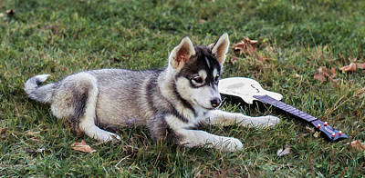 Photograph - Lupe, The Husky Puppy by Richard Goldman