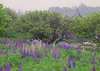 Photograph - Lupin In Fog by Tom Daniel