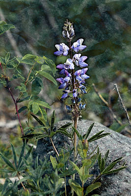 Photograph - Lupine 2017 by Fred Denner