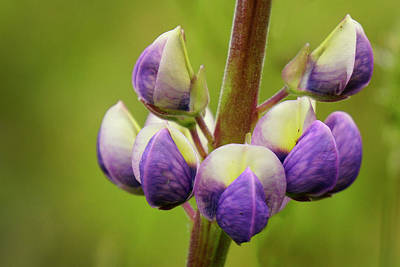 Photograph - Lupine - 365-354 by Inge Riis McDonald