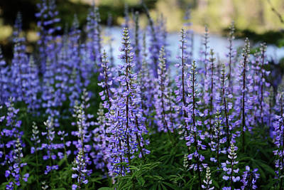 Christmas Christopher And Amanda Elwell - Lupine along the River by Whispering Peaks Photography