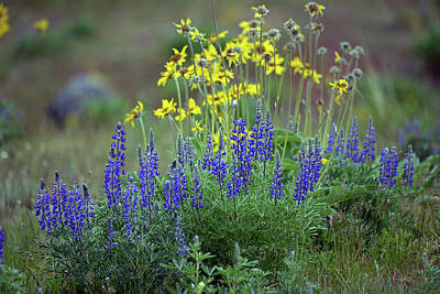 Photograph - Lupine And Balsamroot by Whispering Peaks Photography