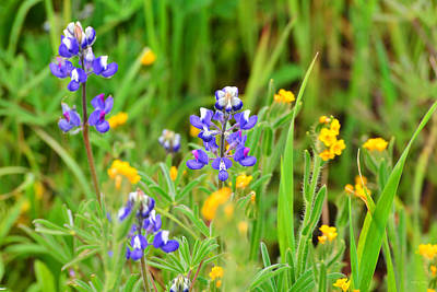 Fiddleneck Photograph - Lupine And Fiddleneck by Kathy Yates