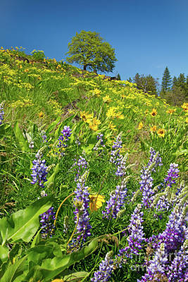 Photograph - Lupine And Oak by Idaho Scenic Images Linda Lantzy