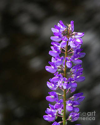 Photograph - Lupine by Anthony Bonafede