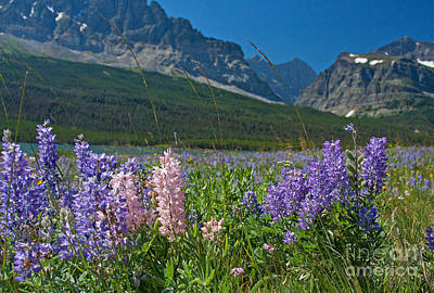 Photograph - Lupine Are Bloomin by Katie LaSalle-Lowery