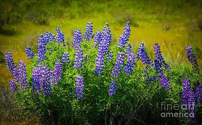Photograph - Lupine Blossoms by Patricia Babbitt