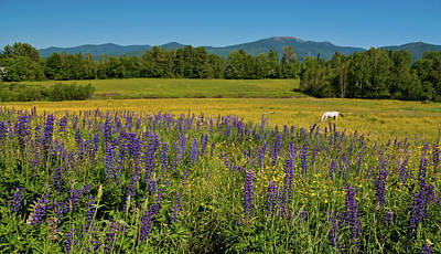 Photograph - Lupine Festival by Brenda Jacobs