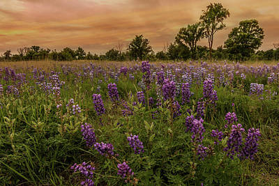 Photograph - Lupine Field #1 by Patti Deters