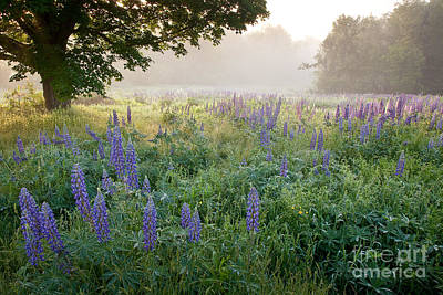 Lupine Field Art Print by Susan Cole Kelly