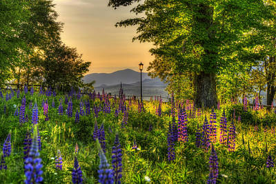 Photograph - Lupine Fields - Field Of Flowers  by Joann Vitali