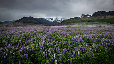 Photograph - Lupine Fields by Josh Eral
