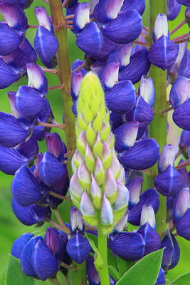 Photograph - Lupine Flower And Shoot by John Burk