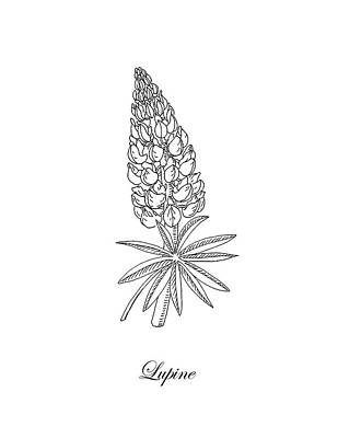 Drawing - Lupine Flower Botanical Drawing  by Irina Sztukowski