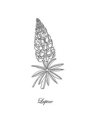 Floral Drawings - Lupine Flower Botanical Drawing  by Irina Sztukowski
