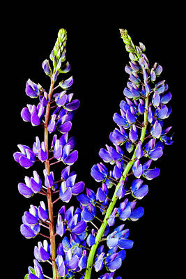 Photograph - Lupine Flower Spikes by Alan L Graham