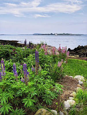 Photograph - Lupine Garden, Ocean Point, East Boothbay, Maine #50817 by John Bald