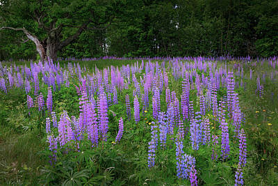 Photograph - Lupine Glow by Bill Wakeley