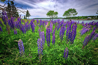 Photograph - Lupine In Bass Harbor by Rick Berk