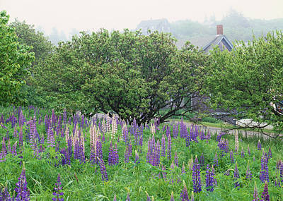 Photograph - Lupine In Fog by Tom Daniel