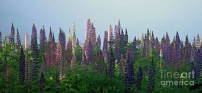 Lupine In Morning Light Art Print