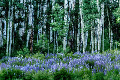Photograph - Lupine In The Aspens by Kristal Kraft