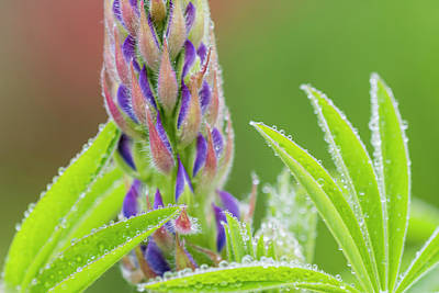 Photograph - Lupine In The Mist by Robert Potts