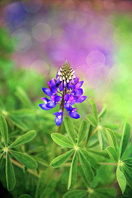 Photograph - Lupine Joy by Lynn Bauer