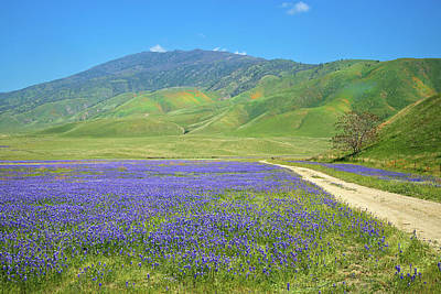 Photograph - Lupine Landscape At Tejon Ranch by Lynn Bauer