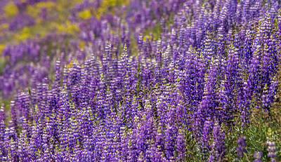 Photograph - Lupine Layers by Loree Johnson