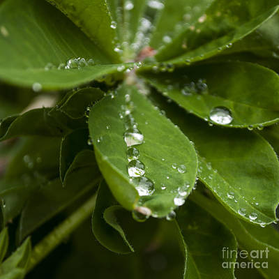 Lupine Leaves With Water Drops - Sq Art Print by Mandy Judson