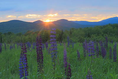 Photograph - Lupine Meadow At Sunrise by John Burk