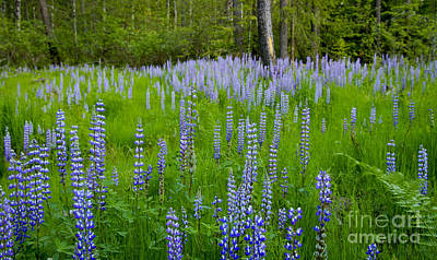 Photograph - Lupine Meadow by Idaho Scenic Images Linda Lantzy