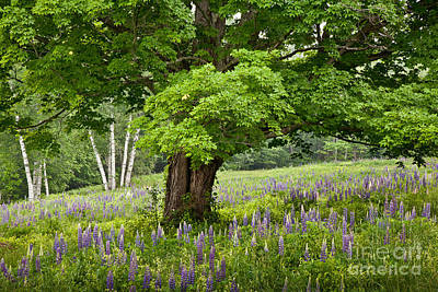 Photograph - Lupine Meadow by Susan Cole Kelly