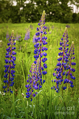 Photograph - Lupine by Mim White