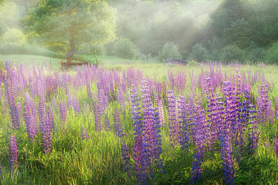 Morning Light Photograph - Lupine Morning by Bill Wakeley