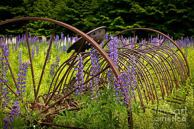 Photograph - Lupine Pasture by Susan Cole Kelly