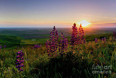 Photograph - Lupine Sunset by Idaho Scenic Images Linda Lantzy