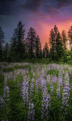 Photograph - Lupine Sunset // Swan Valley, Montana by Nicholas Parker