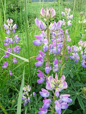 Photograph - Lupine Time by I'ina Van Lawick