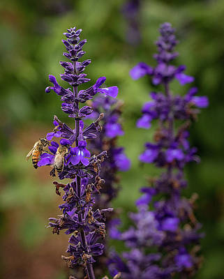Photograph - Lupine Visitors by Richard Goldman